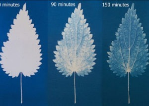 cyanotype leaf detail